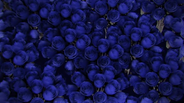 Thumbnail for Background From a Variety of Blue Roses