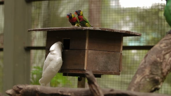 Thumbnail for The Rainbow Lorikeet Trichoglossus Moluccanus and The Salmon-crested Cockatoo Cacatua Moluccensis