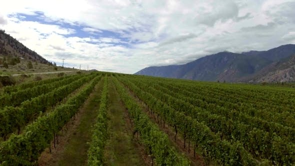 Thumbnail for Aerial Low Level Flight Over Vineyard in the Okanagan