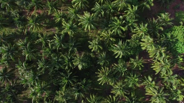 Thumbnail for Aerial View of Palm Tree Grove on a Tropical Island