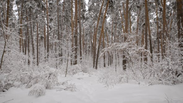 Thumbnail for Snowy Forest with  Lot of Pine Trees