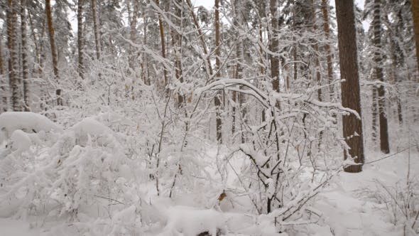 Thumbnail for of Beautiful Landscape of Snow-covered Naked Trees in the Winter Forest. Wonderful Frozen Scenery