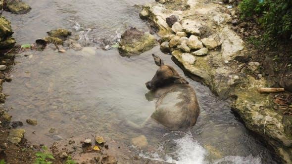 Thumbnail for Bull Lying in the River