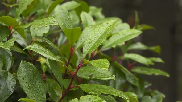 Thumbnail for The Leaves Of Laurel Bush With Raindrops