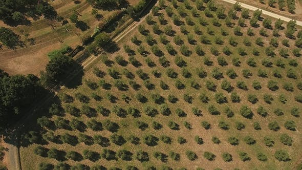Thumbnail for Zoom Out Shot of Olive Trees Growing in Tuscany