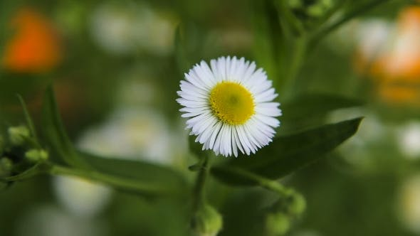 Thumbnail for Daisy in the Garden on a Summer Day