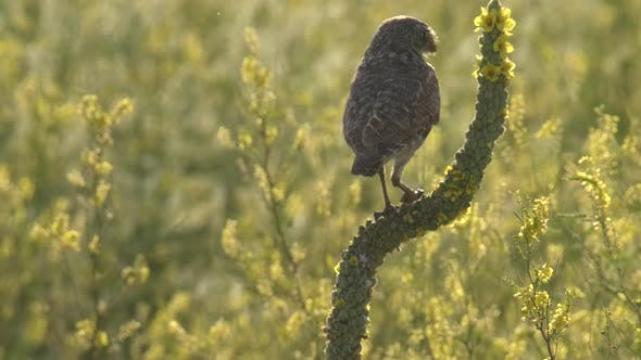 Thumbnail for Burrowing Owl Adult Lone Eating Feeding in Summer in South Dakota