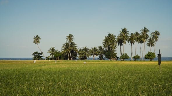 Thumbnail for Green Rice Field.. Philippines