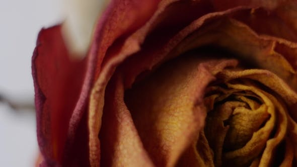 Thumbnail for of Dried Roses Rotating on a White Background
