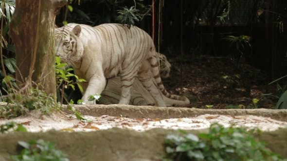Thumbnail for Relaxing White Bengal Tiger, Park in Singapore