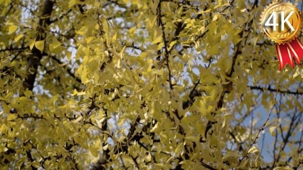 Thumbnail for Sun Shining Through Yellow Leaves