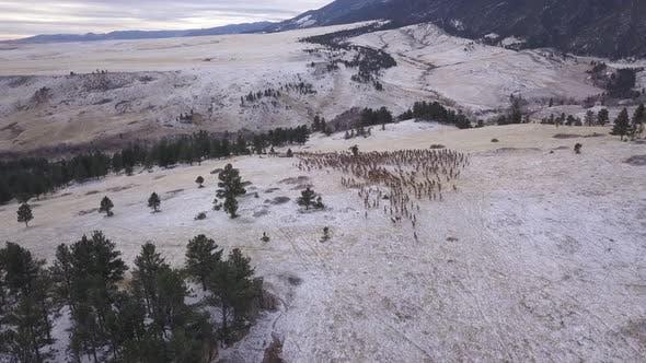 Thumbnail for North American Elk Herd Many Alarmed Frightened Running Fleeing Winter