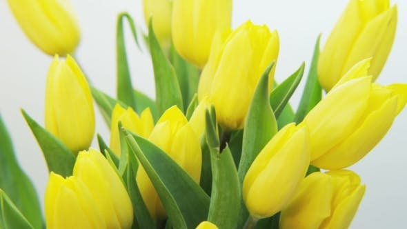 Thumbnail for Yellow Tulips Rotating on White Background