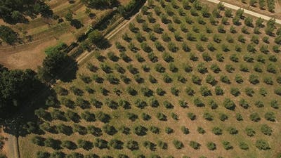 Zoom Out Shot of Olive Trees Growing in Tuscany