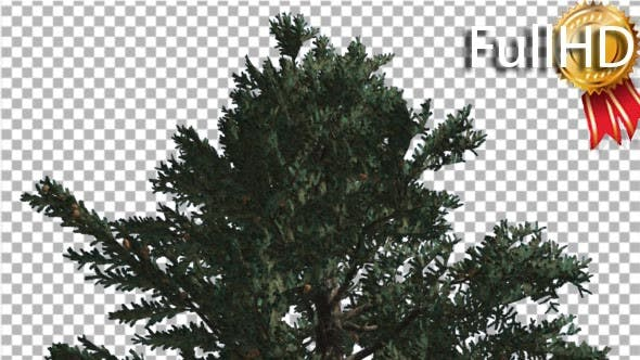 Top of White Fir Coniferous Evergreen Thin Tree