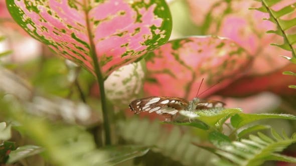 Thumbnail for Butterfly on Leaf  Insect Life in the Tropical Rain Forest. Malaysia. Natural Background.