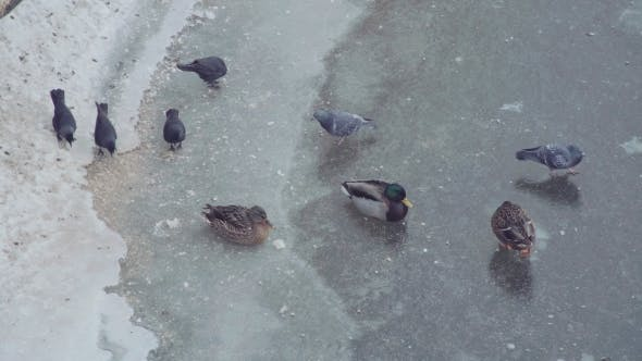 Thumbnail for Wild Ducks. Many Mallards Walk on Ice of Partly Frozen Pond