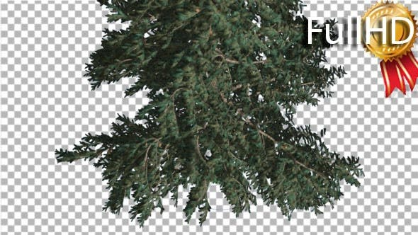 White Fir Crown Turned Down Coniferous Evergreen