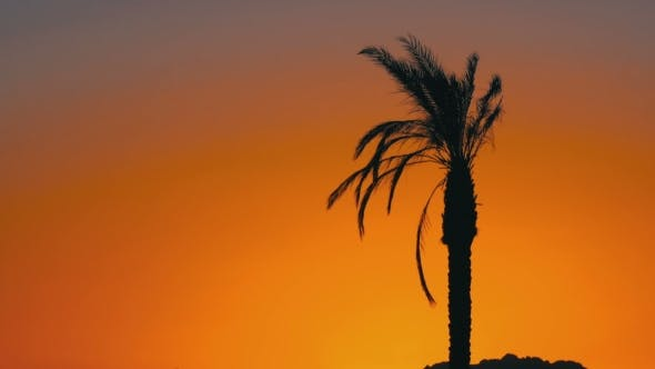 Thumbnail for Silhouette of Palm Tree at Sunset