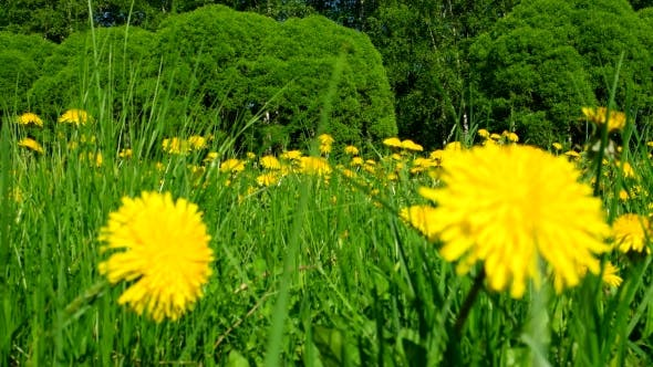 Thumbnail for Field with Yellow Dandelions. Sunny Summer Day