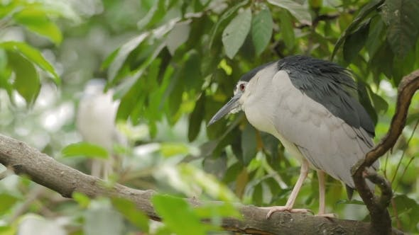 Thumbnail for The Black-crowned Night Heron