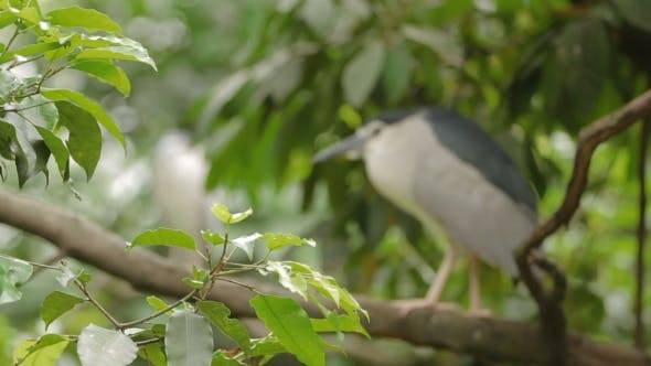 Thumbnail for Black-Crowned Night Heron (Nycticorax Nycticorax) Perched on a Tree Branch
