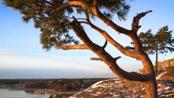 Thumbnail for Scandinavian Landscape. Twisted Pine on the Cliff Over the Baltic Sea