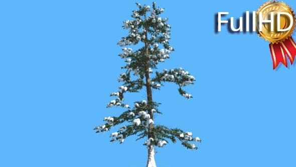 White Fir in Winter Snow on Branches Coniferous