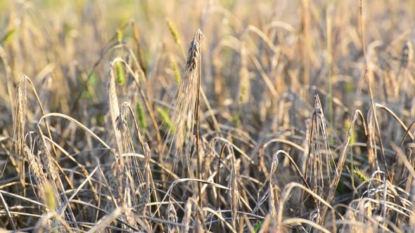 Thumbnail for Dried Ears of Rye in the Field at Sunset