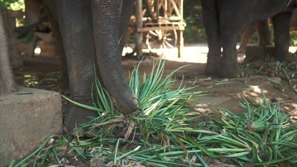 Thumbnail for Big Elephants Eating Plants in Safari Zoo