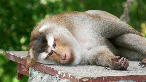 Thumbnail for Sleepy Monkey on Stone