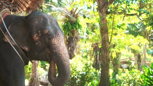 Thumbnail for Huge Elephants Eating Plants in Forest
