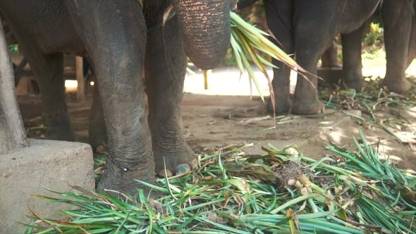 Thumbnail for Big Elephants Eating Plants with Their Trunks