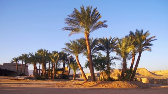 Thumbnail for Tropical Palm Trees on Sky Background in Desert
