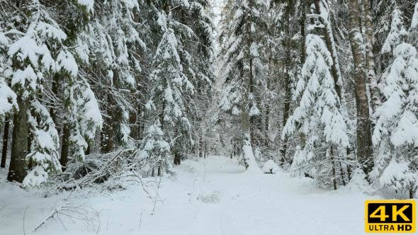 Snowy Trail in the Winter Forest
