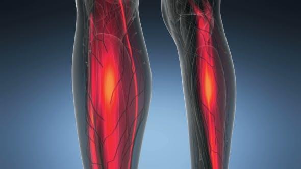 Thumbnail for Human Muscle Anatomy