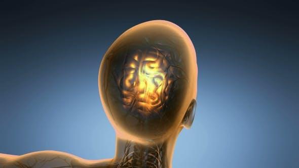 Thumbnail for Anatomy of Human Brain