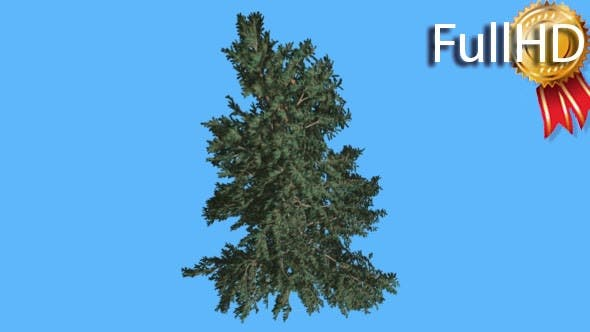 Thumbnail for White Fir Top Down on Blue Screen Coniferous