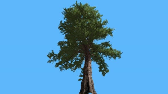 Western Red Cedar at Strong Wind Coniferous