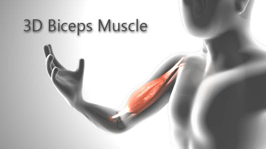 Thumbnail for 3D Biceps Muscle