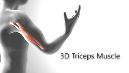 Thumbnail for 3D Triceps Muscle