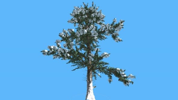 White Fir Snow on Branches Coniferous Evergreen