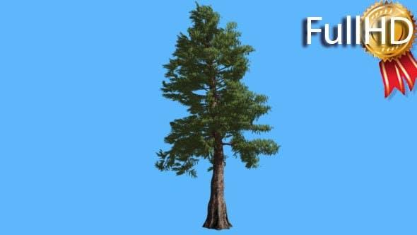 Western Red Cedar on Blue Screen Coniferous