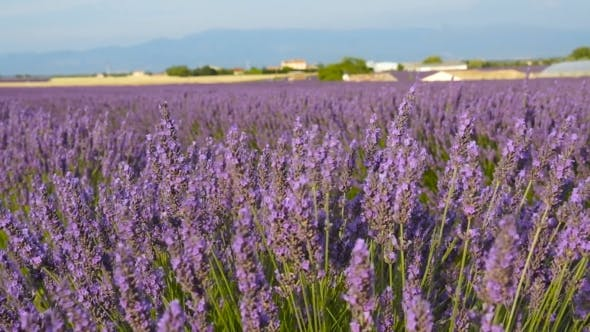 Thumbnail for Lavender Fields Flowers Swing in the Wind