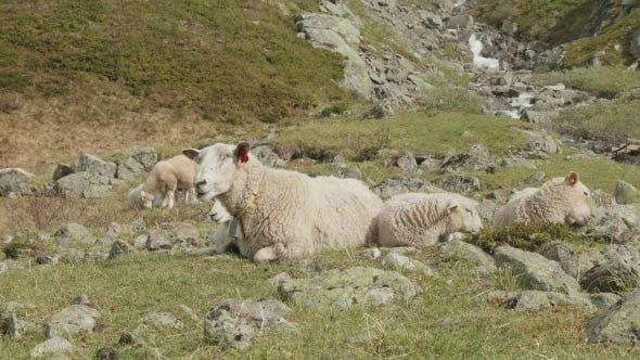 Thumbnail for Schafe in den Bergen von Norwegen