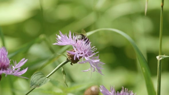 Thumbnail for Bumble Bee on a Flower