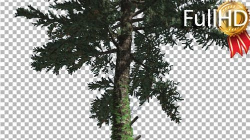 White Fir Thin Trunk and Branches Coniferous