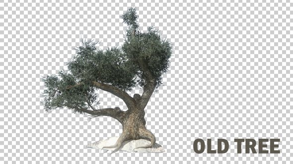 Cover Image for Old Tree