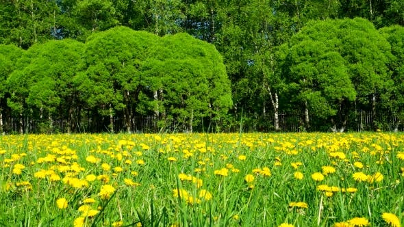 Thumbnail for Clip. Field with Yellow Dandelions. Sunny Summer Day.