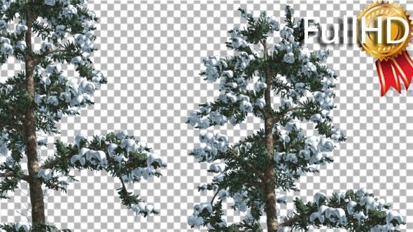 Snow on Two White Firs Coniferous Evergreen Trees